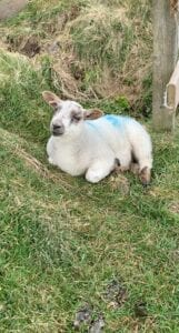 little unbothered lamb