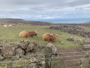 Long haired cows at the Antrim Hills